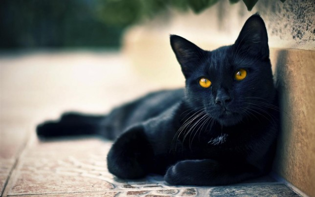 google.ro 6937239-black-cat-wallpaper (Medium)